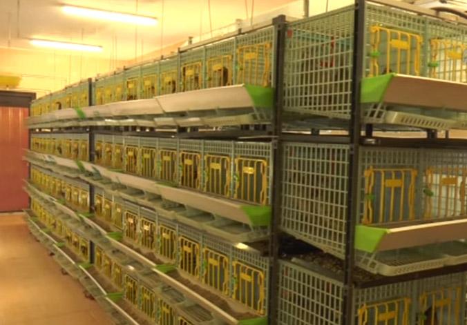 Example of partridge Breeding Room